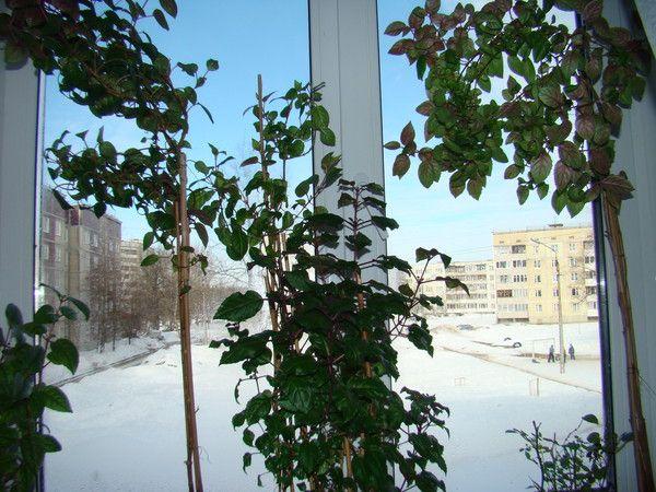 Фуксія.сложен чи догляд, вікна на південну сторону, як забезпечити зимівлю, якщо вдома спека? Пропаде?