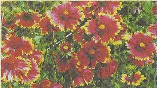 Гайллардія, або гайярд, - це яскравий представник сімейства складноцвітих, близький родич майорця, гербери, чорнобривців, хризантеми, айстри, соняшнику, жоржин, його сорту, агротехніка