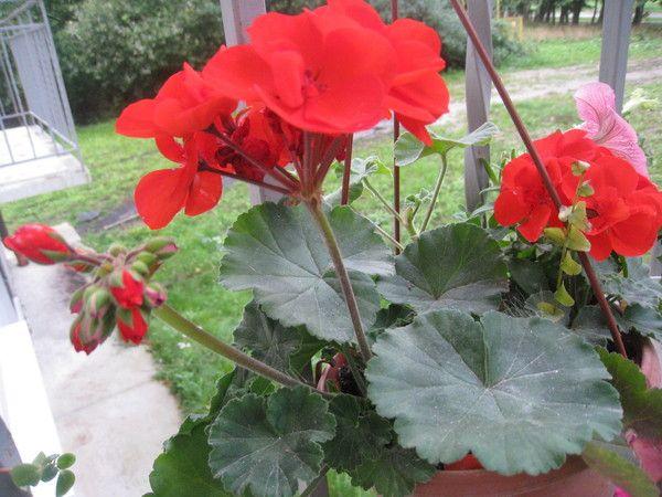 Чи можна вирощувати вдома квітка воскової плющ?