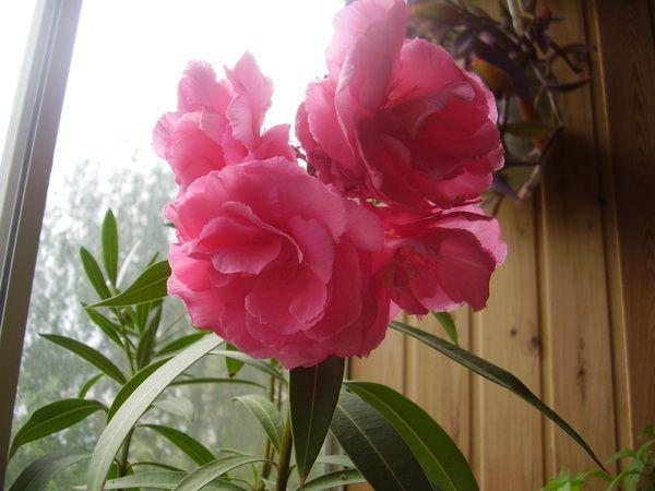 У кого вдома росте і цвіте олеандр?