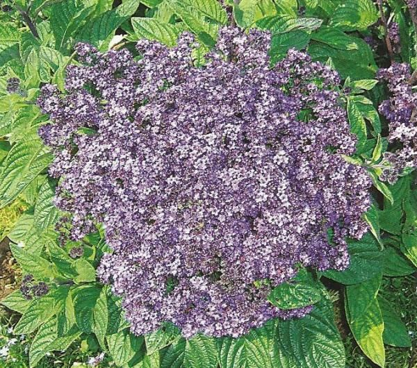 Геліотроп в дизайні саду, агротехніка, вирощування, розмноження