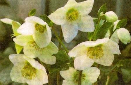 Геллеборус, або троянда христа, зимівник, сорти, види, особливості догляду