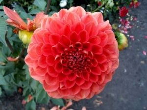 Георгіна - королева серед квітів на осінньому балу