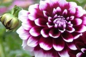 Георгіна культурна, далія, особливості квіткової культури, агротехніка