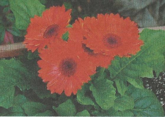 Гербера, незвичайний квітка, розмноження і догляд за герберою