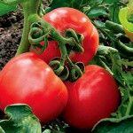 сорту помідорів