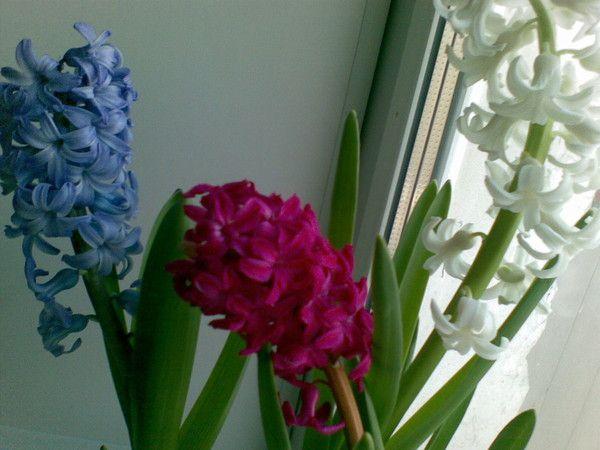 Посадила тюльпани, нарциси та гіацинти на вигонку.первий раз.вопрос всередині