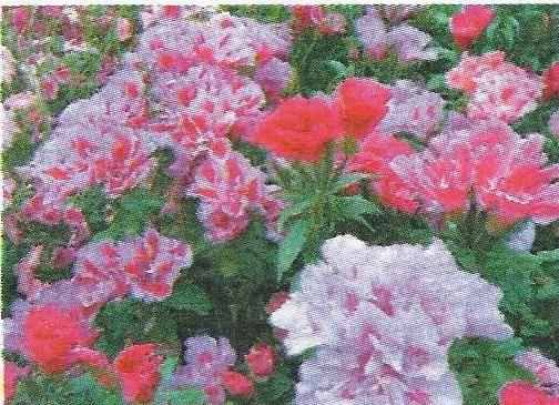 Годеція - однорічні трав`янисті рослини сімейства кіпрейних, особливості, догляд