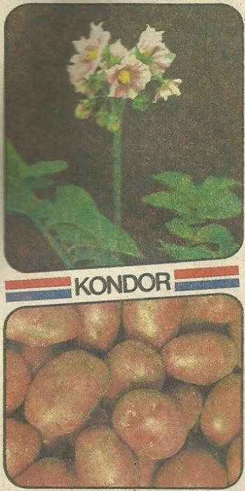 Голландські сорти картоплі, характеристики сортів, їх переваги