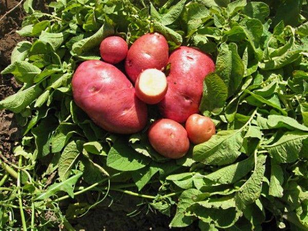 Фото картоплі сорту Скарлет