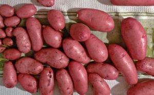Характеристики картоплі сорту Скарлет