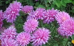 Гороскоп квітів у вересні - айстри