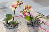 Хойя карноза - вічнозелене, красивоцветущєє рослина. Посадка і догляд в домашніх умовах