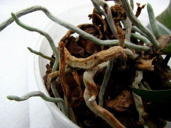 Орхідея гниє коріння що робити