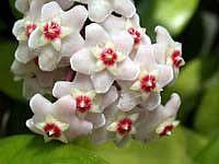 Хойя - тропічна рослина з багатою різноманітністю видів. Фото і опис