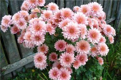 хризантема кущова