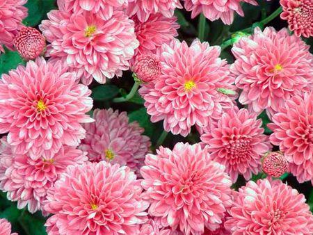 Хризантеми посадка і догляд