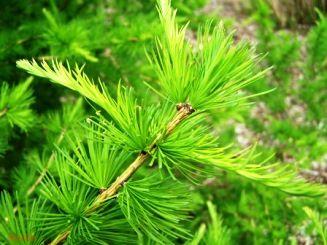 Хвойні дерева фото і назви для дітей