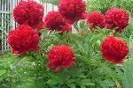 Хвойні рослини для саду фото і назви