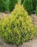 Хвойні рослини для саду фото і назви - Низькоросла туя для саду