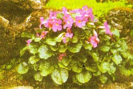 Інкарвіллея, особливості квіткової культури, сорту інкарвіллеі, агротехніка
