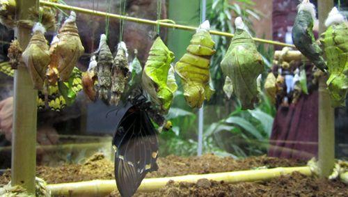 Інсектарій для тропічних метеликів, обладнання та лялечки.