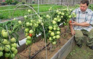 Цікава і свіжа новинка для посадки - томат «кипарис»: фото і опис сорту