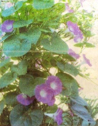 Іпомея - садові ліана, біологічні особливості догляд за іпомеєю