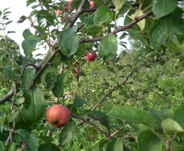 Яблунева плодожерка - небезпечний шкідник, опис, фото, заходи боротьби та профілактики