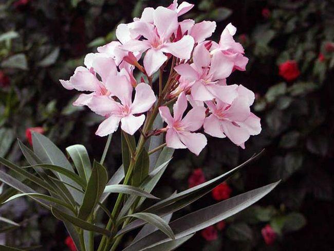 Отруйний красень олеандр: особливості догляду та вирощування рослини в домашніх умовах