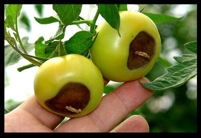 Японський сорт томата чорний трюфель - до 6 кг. З одного куща!