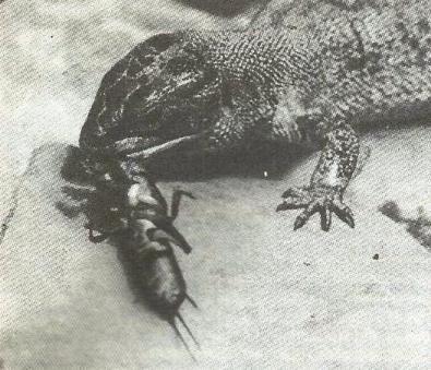 Ящірка в боротьбі з шкідниками саду, підтримка її жизнеобитания