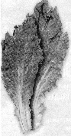 Ескаріол - цікорний салат, особливості культури, догляд за салатом ескаріол