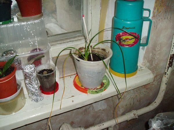 Правда що квітка гиппеаструм вдома тримати не можна, типу прикмета погана? Фото