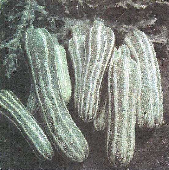 Кабачки цукіні, догляд за кабачками, кращі сорти кабачків