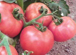 Як без зусиль виростити смачний томат «щастя російське f1»? Опис і особливості сорту