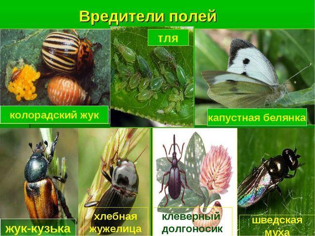 колорадський жук методи боротьби