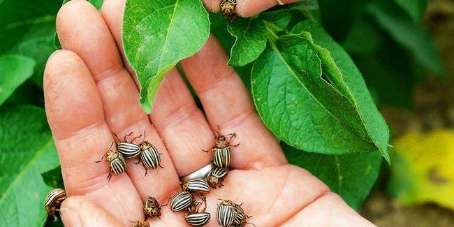 як боротися з колордаскім жуком