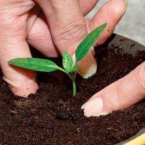 Як робиться пікіровка розсади перців в домашніх умовах? Коли це робити, опис процесу з фото, догляд за пересадженими рослинами