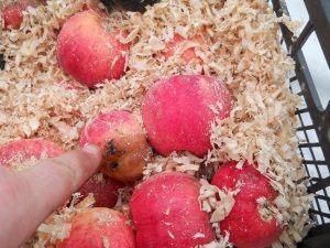 Передчасна псування яблук