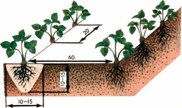 як посадити полуницю правильно
