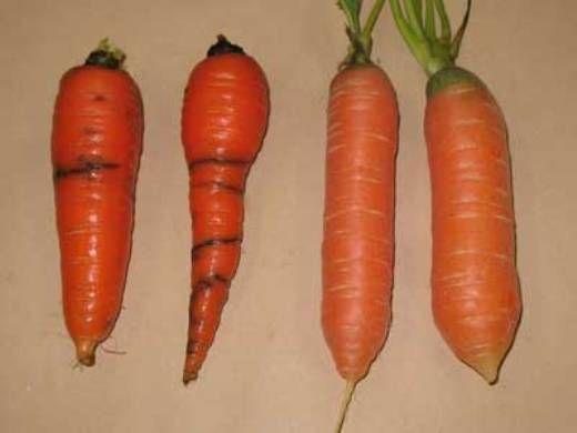 морквяна муха