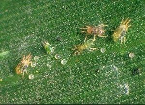 Як позбутися від павутинного кліща на баклажанах, томатах і перці?