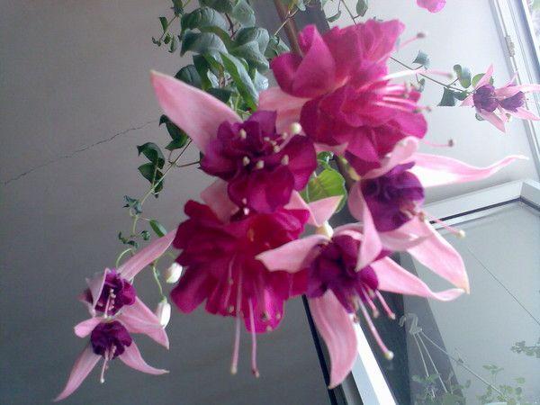 Як розмножити домашній квітка кротон?