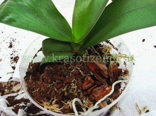 Як пересадити орхідею в інший горщик