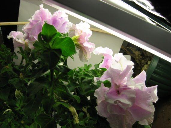 Петунія з саду цвіте на Новий рік в квартирі