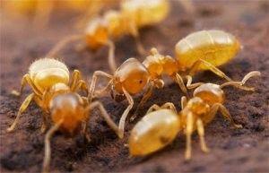 Як перемогти домашніх комах - жовтих мурах?