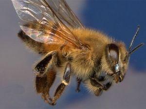 Як спіймати бджолиний рій: вибір часу, місця і засобів