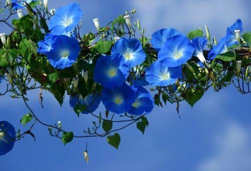 квітуча синя ипомея