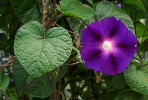 Ipomoea пурпурна